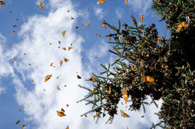 Monarch migration, Morelia, Mexico